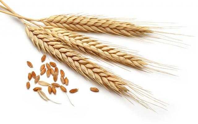 انخفاض رسوم تصدير القمح الروسي إلى 50.9 دولار للطن خلال سبتمبر