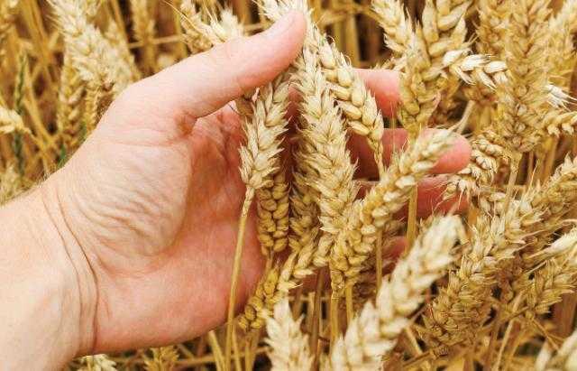 ارتفاع نسبة تصنيف جودة القمح والشعير الروسي لعام 2021