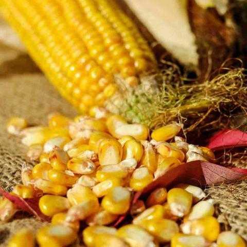 صادرات البحر الأسود من الذرة تجني ثمار بعد مشاكل التصدير الأمريكية