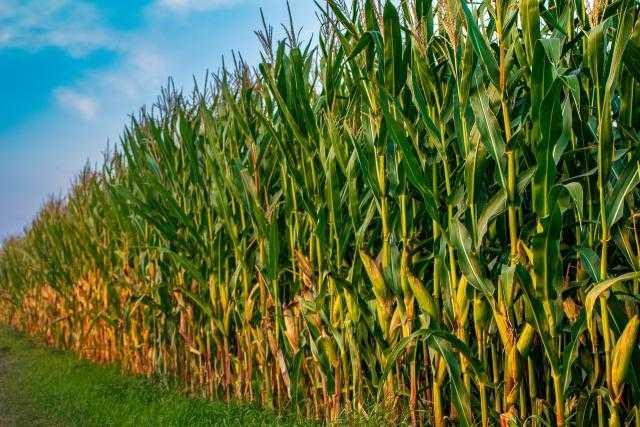 أوكرانيا تحصد 52.06 مليون طن من الحبوب منذ بداية الموسم