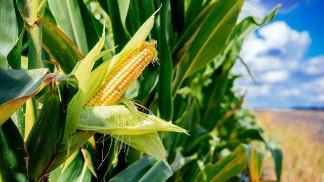 تباطؤ حصاد الذرة الفرنسي خلال الأسبوع الماضي