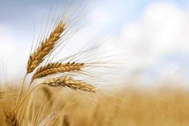 قمح الدرجة الثالثة الروسي يستحوذ على 45% من حصاد الأسبوع الماضي