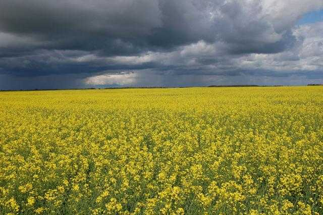 """""""أستراليا"""": توقعات بإنتاج أكثر من 5 ملايين طن من محصول الكانولا في الموسم الجاري"""