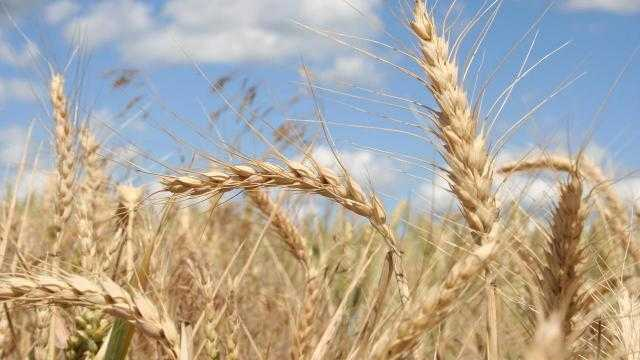 الصين تزيد من حوافز مُزارعي القمح في عام 2022