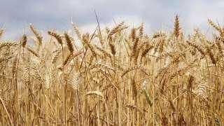 أوكرانيا : ارتفاع حصاد القمح بنسبة 33٪ خلال عام 2021