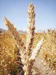 «6.75 مليون طن» حجم صادرات أوكرانيا من القمح في موسم 2021/22