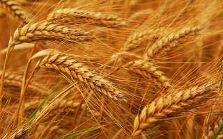 توقعات بتراجع مساحات زراعة القمح الشتوي الروسي بالموسم الجديد