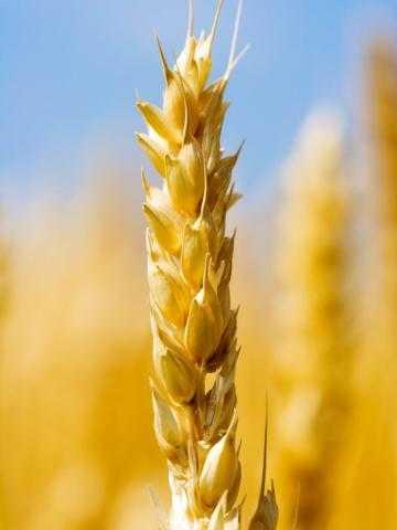 وزارة الزراعة الأوكرانية: اكتملت زراعة القمح الشتوي لموسم 2022 بنسبة 18.3٪