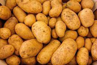 مناقصة عامة لتوريد تقاوي بطاطس صيفي بالقليوبية