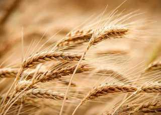 943,3 ألف طن رصيد مخزون القمح بالشون والمخازن بنهاية 2019/ 2020