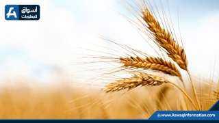 أسعار القمح تستقر في السوق المحلي على ارتفاع أمس